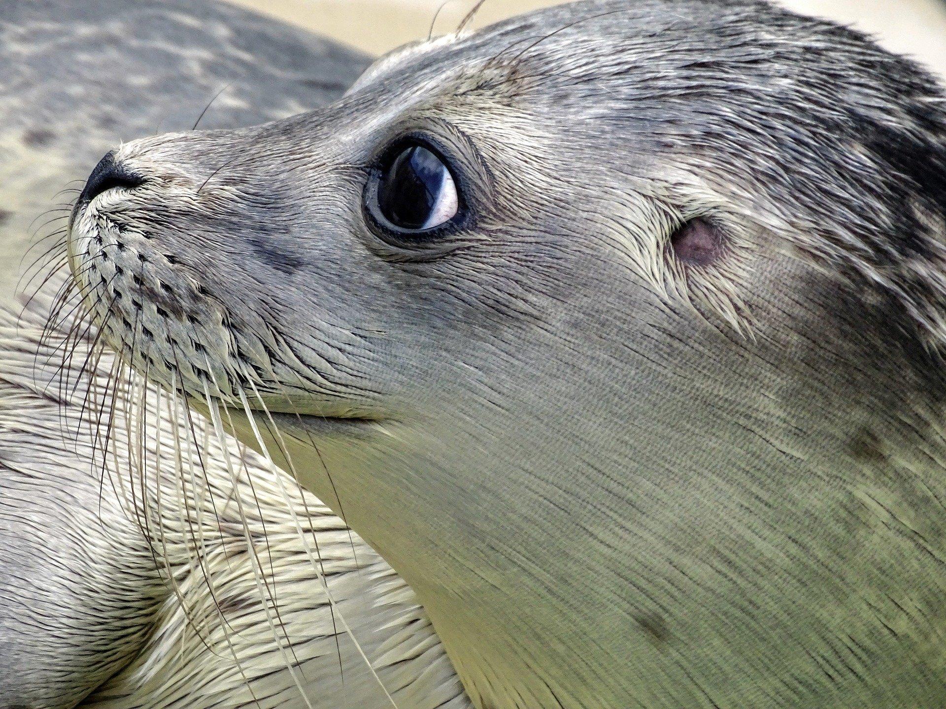 Seehund Kopf von der Seite Auge Lächeln