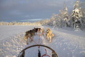 Schlittenhunde mit Schlitten in Finnland im Schnee